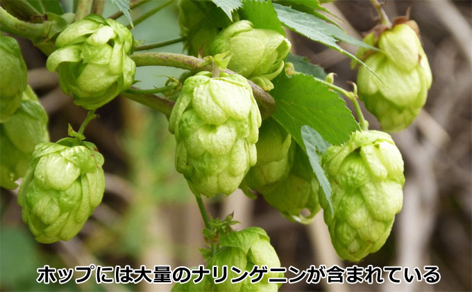 ビール原料のホップには、大量のナリンゲニンが含まれている