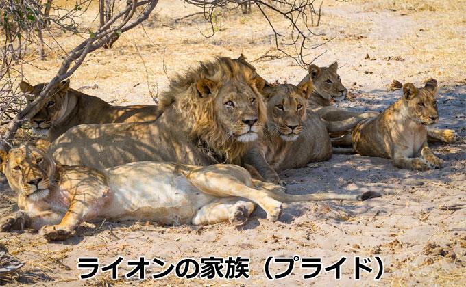ライオンの家族(プライド)